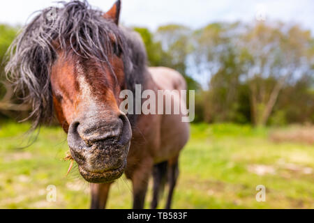 Creative wild pony portrait with selective focus on end of snout of curious old pony. Taken in Dorset, England. - Stock Image