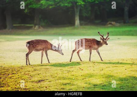 sacred sika deers at Nara park in the morning - Stock Image
