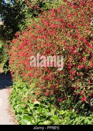 Red flowered, woody semi evergreen shrub, Fuchsia magellanica 'Ricartonii' used as a hedge in South Devon, UK - Stock Image