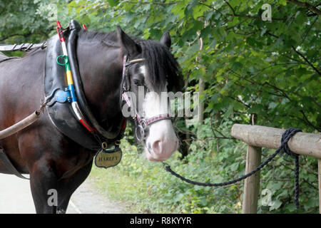 One of the working horses which pulls the horsedrawn boats along the canal at Llangollen - Stock Image