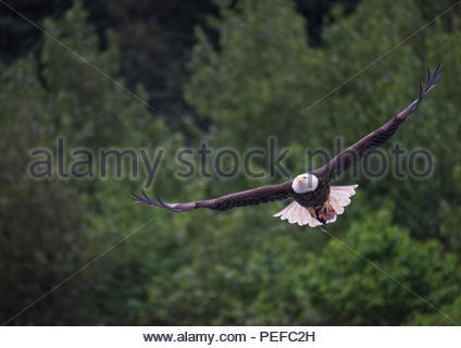 A bald eagle with fish head near Juneau. - Stock Image