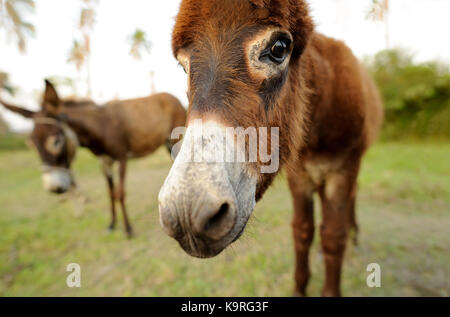 Donkey baby is a cute curious shy baby donkey with great big adorable floppy ears looking right at you. - Stock Image