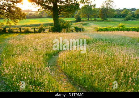 Meadow and field on a late summer evening in Sussex England - Stock Image