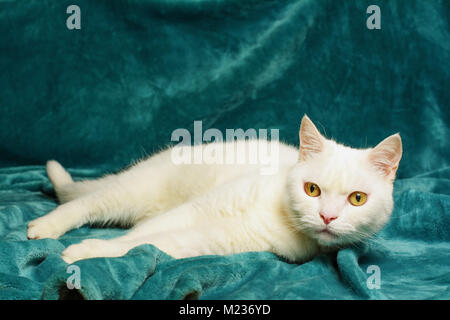 Beautiful white tomcat is lying on an aquamarine blanket. Selective focus on his head. - Stock Image