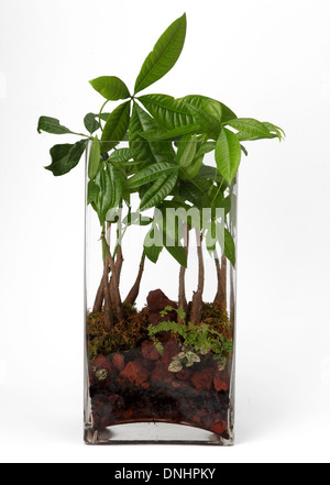 A small green plant in a container on a white background - Stock Image