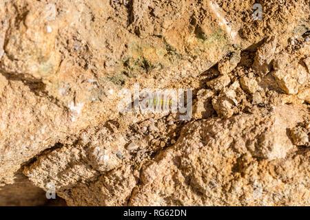 Ligia oceanica, sea slater, common sea slater, sea roach, littoral woodlouse - Stock Image