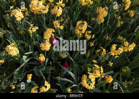Narcissue, daffodils, spring perennial plant. Often sold for fundraising to finance cancer research. Medically used to treat Alzheimer's disease, howe - Stock Image