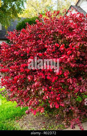 Burning bush, Euonymus alatus. Kansas, USA. - Stock Image