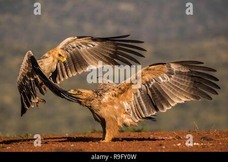 Tawny eagles (Aquila rapax) fighting, Zimanga private game reserve, KwaZulu-Natal, South Africa - Stock Image