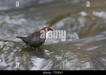 White-throated Dipper, Cinclus cinclus - Stock Image