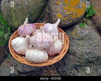 Big garlic heads in wicker basket outdoor on stones - Stock Image