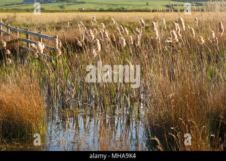 Bulrushes at Steart Marshes, Sedgemoor. Wetland saltmarsh, developed by the WWT in Somerset. - Stock Image