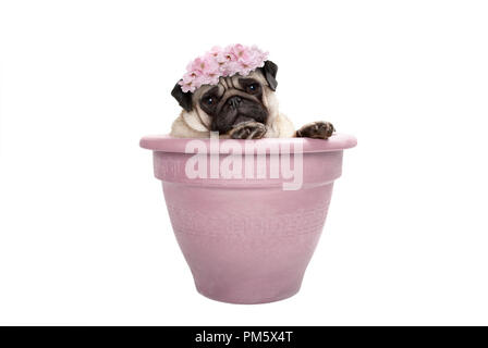 lovely sweet pug dog sitting in plant pot, wearing pale pink flowers diadem, isolated on white background - Stock Image