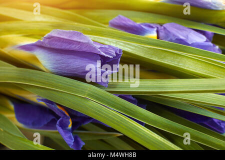 Close up dark blue Iris flower blossom. Concept delicate holiday bouquet of iris violet. - Stock Image