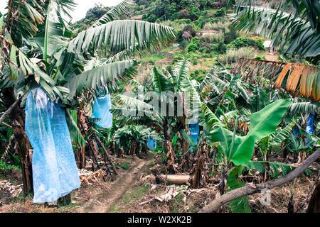 Portugal, Madeira Island, banana trees plantation - Stock Image