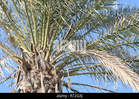 Kestrel wild bird of prey perched on a palm tree branch in Agadir, Morocco - Stock Image