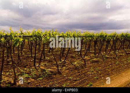Vineyard, Apulia, Italy - Stock Image