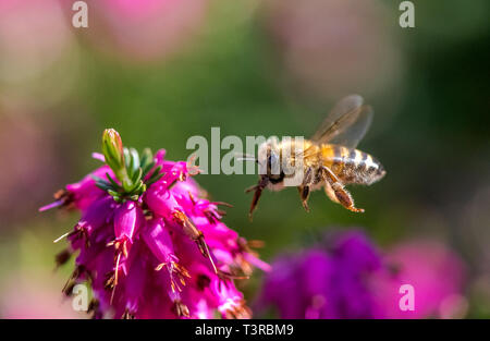 Honey Bee flying towards a Heather flower. - Stock Image