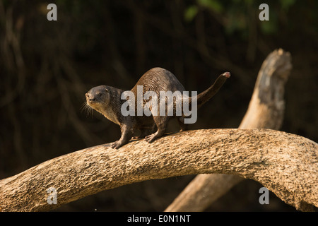 Neotropical River/Otter along riverbank, Matto Grosso, Pantanal, Brazil, South America (Lontra longicaudis) - Stock Image