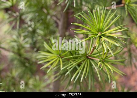 Sciadopitys verticillata 'Sternschnuppe' / Umbrella Pine at the Oregon Garden in Silverton, Oregon, USA. - Stock Image