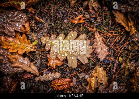 Fallen oak leaves. Autumn.fallen oak leaves,fallen autumn leaves,deep autumn,wet leaves - Stock Image