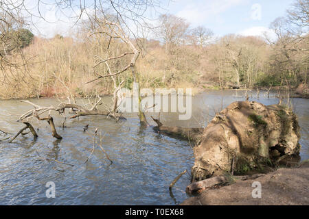 Tree blown over into Waterloo Lake in Roundhay Park, Leeds, West Yorkshire, England, UK - Stock Image