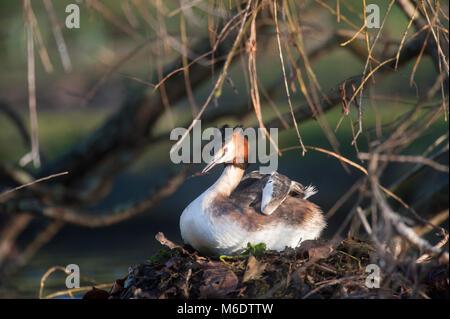 Great Crested Grebe, (Podiceps cristatus), Regents Park, London, United Kingdom - Stock Image