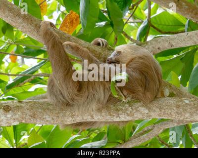 Three toed Sloth hanging in tree sleeping scratching leg - Stock Image