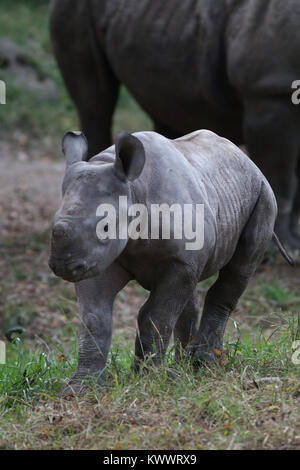black rhinoceros horn close up at Cincinnati zoo - Stock Image