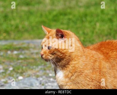 Cute ginger cat - Stock Image