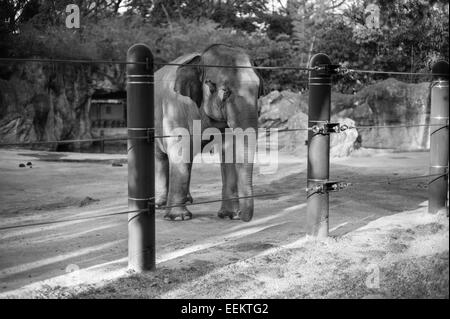 Indian Elephant watches visitors in Ueno Zoo, Japan - Stock Image