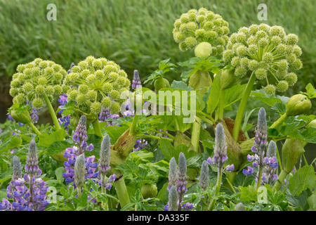 Nootka Lupin (Lupinus nootkatensis) and Garden Angelica (Angelica archangelica) flower spikes Southern Iceland Europe - Stock Image