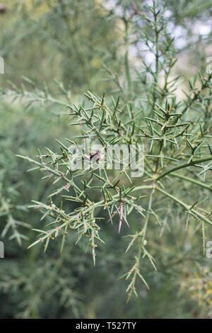 Colletia hystrix - barbed wire brush - at the Oregon Garden in Silverton, Oregon, USA. - Stock Image