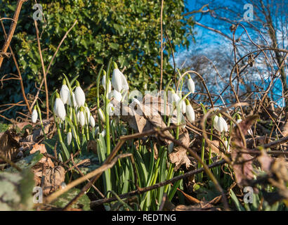 A group of wild snowdrops Galanthus in flower with surrounding leaf litter and a blue sky background - Stock Image