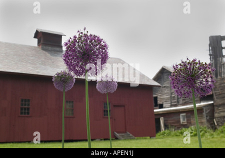 Allium flowers and barn, Burlington, Vermont, USA - Stock Image