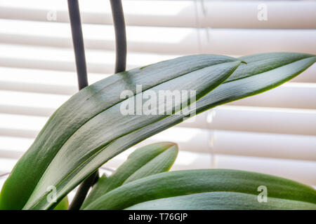 Phalaenopsis orchid beautiful new and fresh green leaves at home and windows in background. Botanical and house flowers concept. Close up - Stock Image