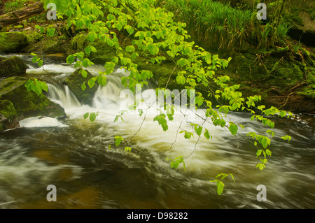 Verdant young Beech leaves in the breeze above a waterfall on the River Fowey at Golitha Falls - Stock Image