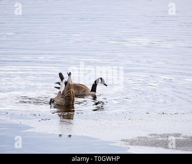Two Canada geese feeding around sheets of ice on Lake Pleasant, NY in late winter dabbling and dipping up for underwater plants. - Stock Image