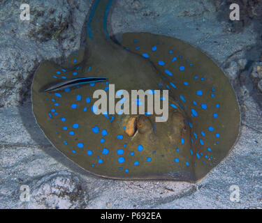 Bluespotted stingray (Taeniura lymma) is getting cleaned by a bluestreaked cleaner wrasse (Labroides dimidiatus) while resting on the sea floor. Red S - Stock Image