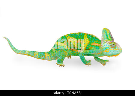 close view of a beautiful  green colorful  chamaeleo calyptratus looking forward. Species also called veiled, cone-head or yemen chameleon. - Stock Image