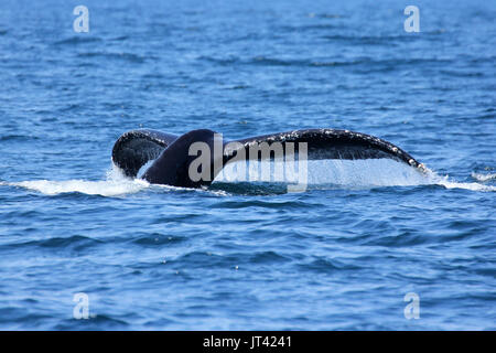 Humpback Whale (Megaptera novaeangliae) fluking at Monterey Bay - Stock Image