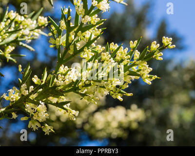Early autumn white flowers adorn the spiny modified leaves of the half hardy Crucifixion thorn, Colletia hystrix (C.armata) - Stock Image