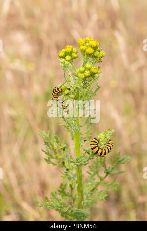 Cinnabar Moth caterpillars on youngsih Ragwort [Senecio jacobaea]. - Stock Image