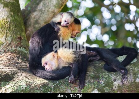 Panamanian White Headed Capuchin Monkey (Cebus Imitator) Family resting on Tree in Costarica Manuel Antonio National Park - Stock Image