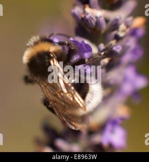 Bumble bee close up - Stock Image