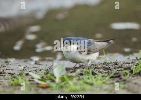 The common house martin, Latin name Delichon urbicum,  sometimes called the northern house martin or, particularly in Europe, just house martin, colle - Stock Image