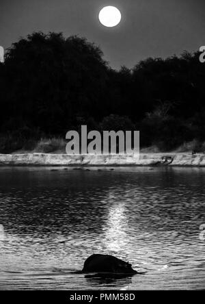 Hippo crosses the Luangwa River, silhouetted by the setting moon - Stock Image
