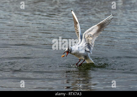 Black headed seagull with changing plumage catching a piece of bread in flight - Stock Image