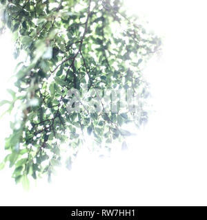 Chinese Elm, Ulmus parvifolia, Tree Branches with Green Leaves against White Sky - Stock Image