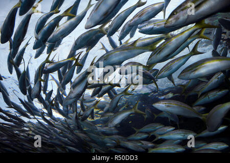 School of circling Atlantic Yellowtail Snapper fish from below at Ripley's Aquarium Toronto - Stock Image
